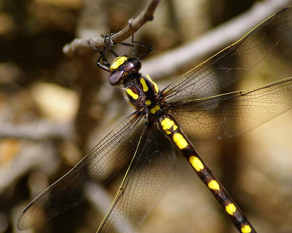 Photograph - Pacific Spiketail Dragonfly On Mt Tamalpais 2 by Ben Upham III