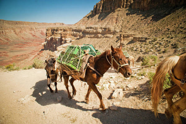 Bridle Wall Art - Photograph - Pack Horses Carry Gear Out Of The Grand by Rob Hammer