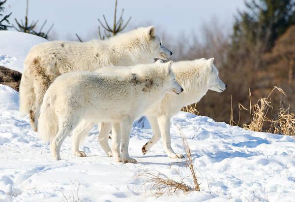 Photograph - Pack Of Arctic Wolves by Les Palenik