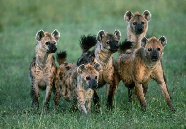 Hyena Photograph - Pack Of Spotted Hyenas (crocuta Crocuta) by William Ervin/science Photo Library