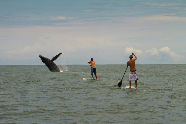 Colombian Wall Art - Photograph - Paddle Boarders And Humpback Whale by Animal Images