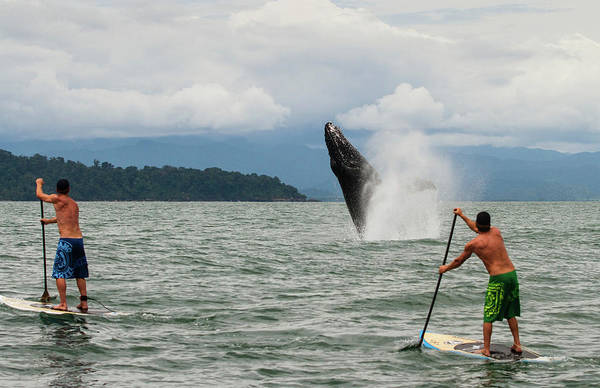 Wetsuit Wall Art - Photograph - Paddle Boarders And Humpback Whale by Panoramic Images