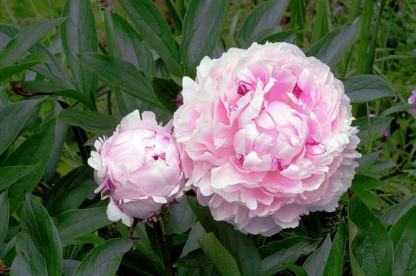 Sarah Photograph - Paeonia Lactiflora 'sarah Bernhardt' by Brian Gadsby/science Photo Library