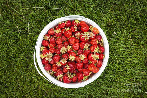 Green Berry Photograph - Pail Of Strawberries  by Elena Elisseeva