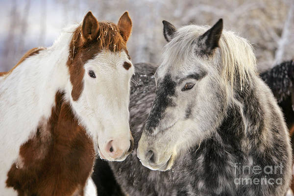 Photograph - Paint And Quarterhorse Draft Horses by Rolf Kopfle