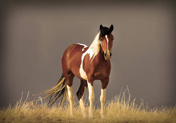 Paint Filly Wild Mustang Sepia Sky Art Print