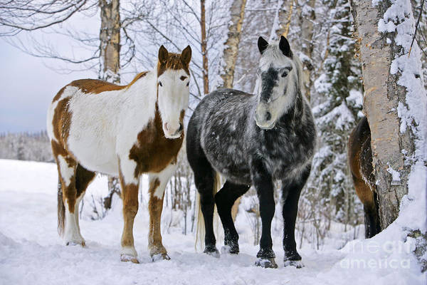 Photograph - Paint Horse And Gray Quarterhorse by Rolf Kopfle