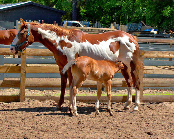 Photograph - Paint Horse With Colt by Mary Almond