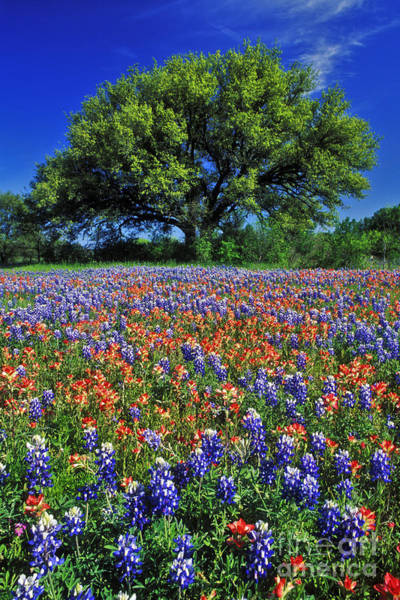 Texas Landscape Photograph - Paintbrush And Bluebonnets - Fs000057 by Daniel Dempster