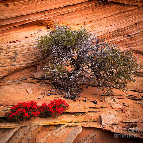 Vermilion Cliffs Wall Art - Photograph - Paintbrush And Juniper by Inge Johnsson