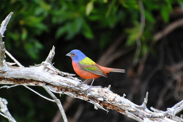 Photograph - Painted Bunting by Dan Williams