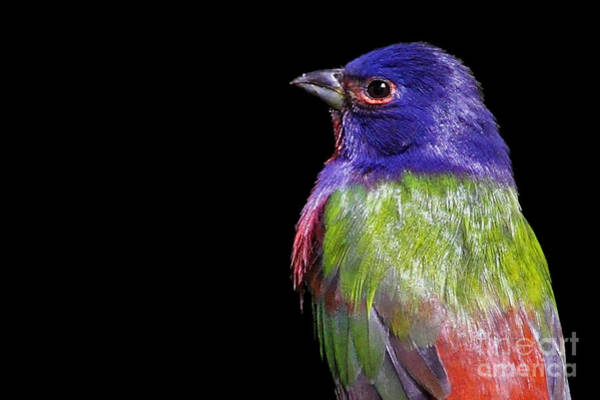 Photograph - Painted Bunting by Meg Rousher
