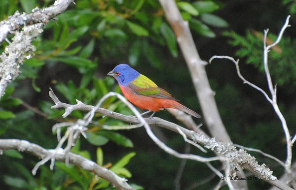 Painted Bunting Out On A Limb Art Print