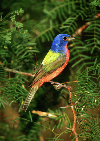 Passeriformes Photograph - Painted Bunting (passerina Ciris by Richard and Susan Day