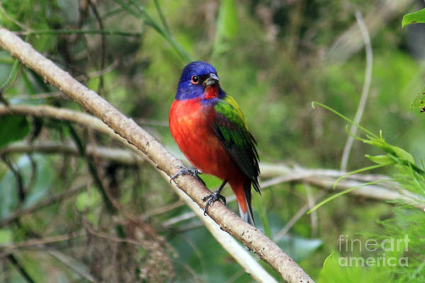 Photograph - Painted Bunting Photo by Meg Rousher