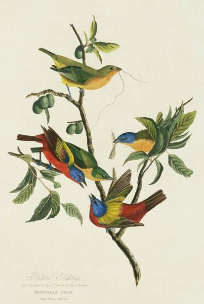 Wall Art - Photograph - Painted Buntings by Natural History Museum, London/science Photo Library