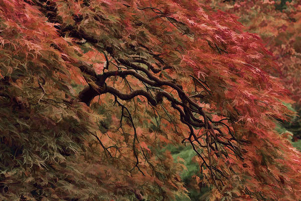 Photograph - Painted Cascading Japanese Maple by Wes and Dotty Weber