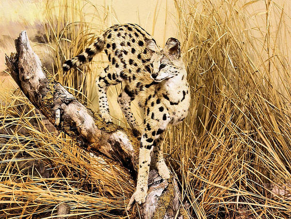 Photograph - Painted Cheetah by Kristin Elmquist