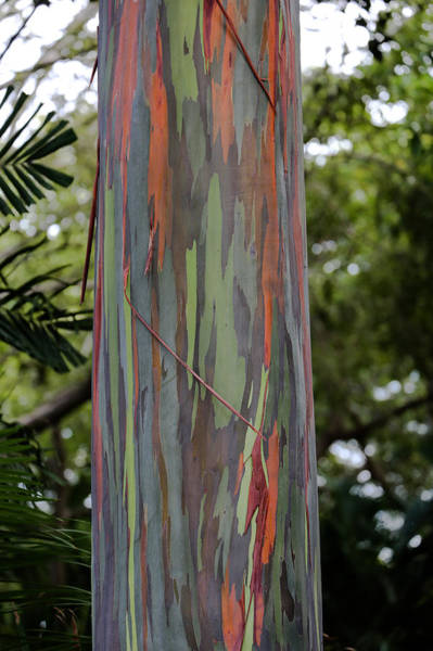 Allerton Garden Photograph - Painted Eucalyptus Tree by Sam Amato