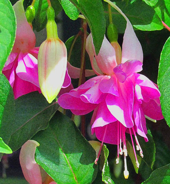 Photograph - Painted Fuchsias by Tony and Kristi Middleton