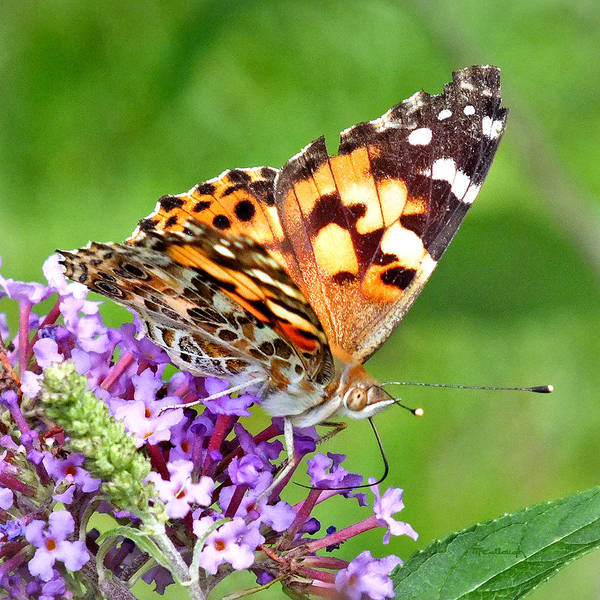 Photograph - Painted Lady Butterfly by Duane McCullough