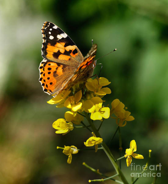 Photograph - Painted Lady Butterfly by Paul Cowan