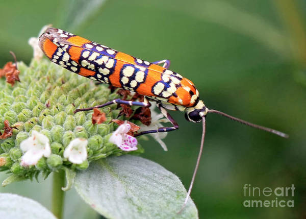 Photograph - Painted Lady by Geoff Crego