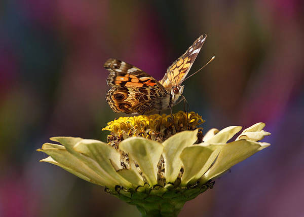 Photograph - Painted Lady by Leda Robertson