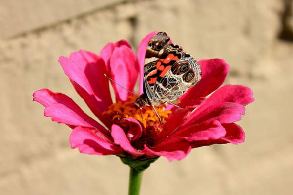 Photograph - Painted Lady by Reid Callaway