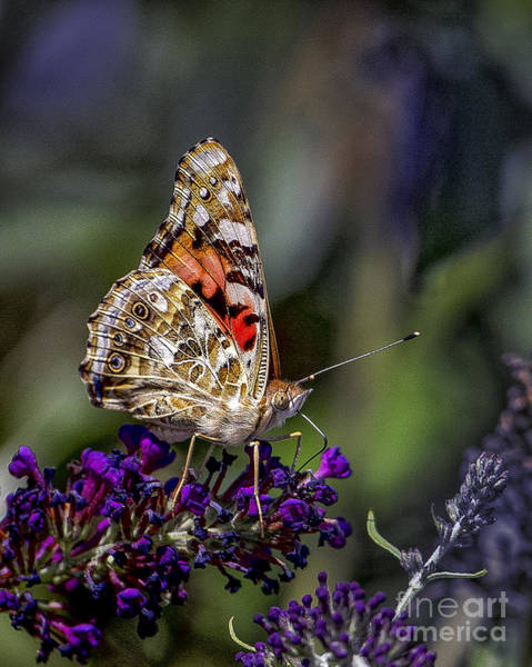 Photograph - Painted Lady by Ronald Lutz