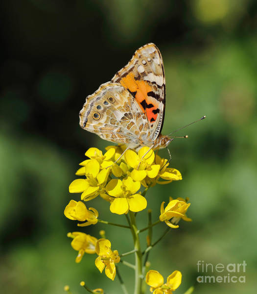 Photograph - Painted Lady Wing Markings by Paul Cowan