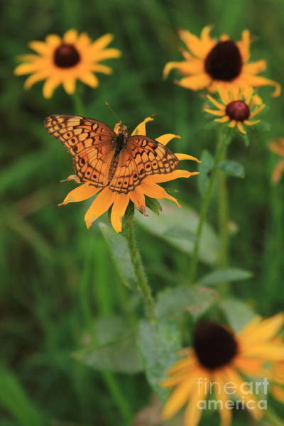 Photograph - Painted Lady With Friends by Reid Callaway