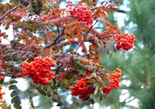 Pine Valley Digital Art - Painted Mountain Ash Berries by Will Borden