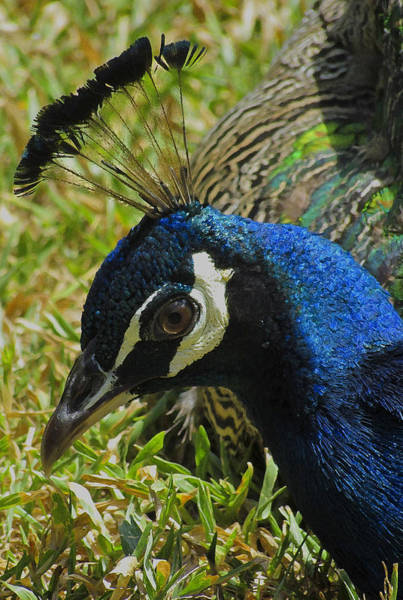 Photograph - Painted Peacock by Tony and Kristi Middleton