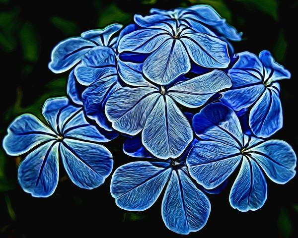 Plumbaginaceae Photograph - Painted Plumbago by Judy Vincent