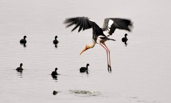 Bangalore Photograph - Painted Stork .. And Ducks by Rj@rajnishjaiswal.com