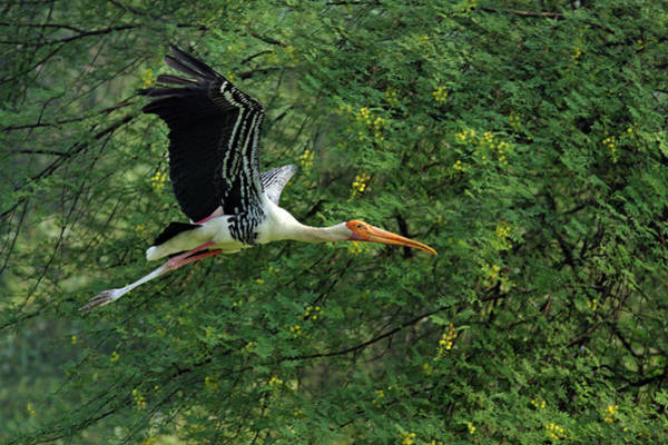 Wall Art - Photograph - Painted Stork In Flight,keoladeo by Jagdeep Rajput