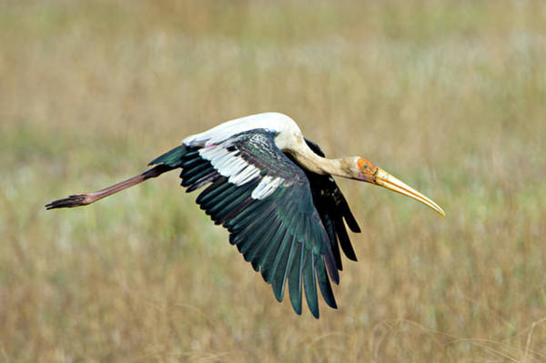 Wall Art - Photograph - Painted Stork Mycteria Leucocephala by Animal Images