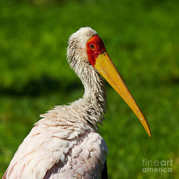 Photograph - Painted Stork by Nick  Biemans