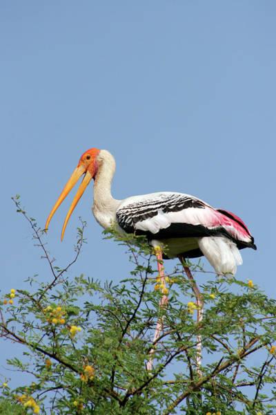 Painted Stork Art Print