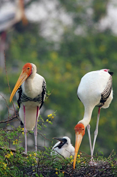 Nestling Photograph - Painted Storks And Youngone,keoladeo by Jagdeep Rajput