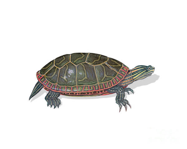 Painted Turtle Photograph - Painted Turtle by Carlyn Iverson