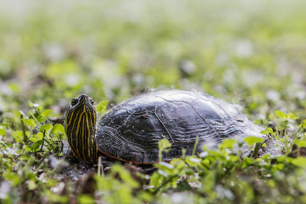 Photograph - Painted Turtle Close-up by Patti Deters