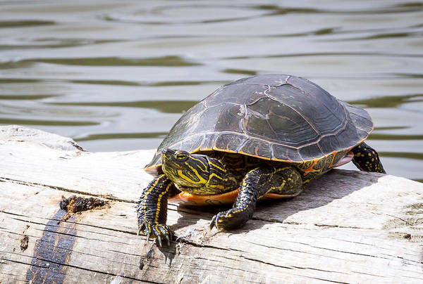 Photograph - Painted Turtle by Michael Chatt