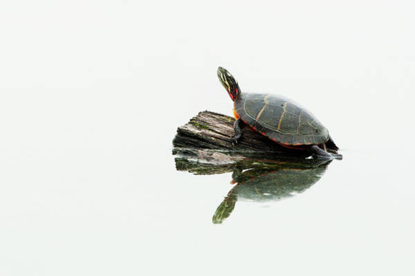 Painted Turtle Photograph - Painted Turtle On Log by Johann  Schumacher