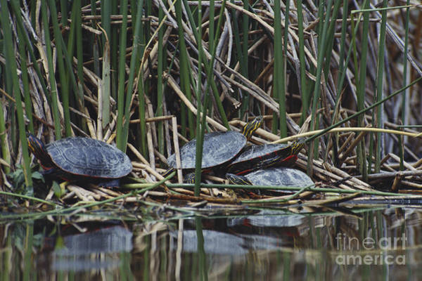 Painted Turtle Photograph - Painted Turtles by William H. Mullins