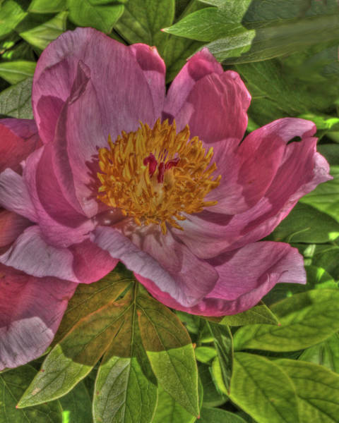 Photograph - Painterly Peony by Harold Rau