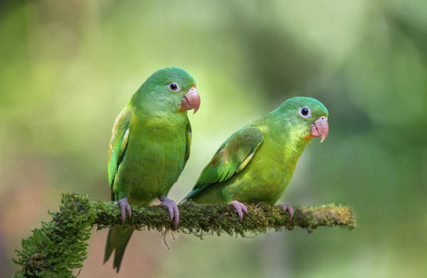 Tropical Bird Wall Art - Photograph - Pair O' Parakeets by Greg Barsh