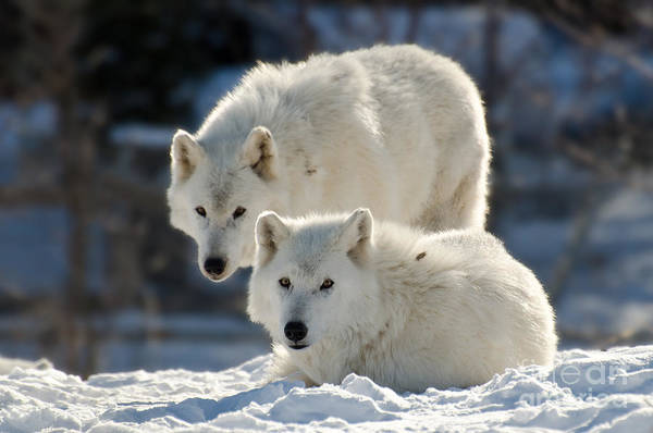 Photograph - Pair Of Arctic Wolves by Les Palenik