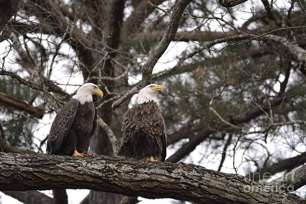 Photograph - Pair Of Bald Eagles by Jai Johnson